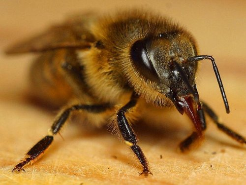 Researchers plan honey bee sperm bank