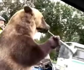 Bear rides in motorcycle sidecar, blows into horn