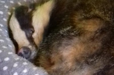 Badger wanders into home, eats cat food, naps on cat bed