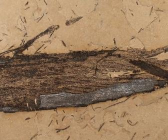 Scientists find plant gum in 110-million-year-old leaf fossils
