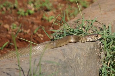 Australian news office gets a second visit from venomous snake