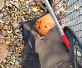 Animal control officers free deer's head from plastic pumpkin