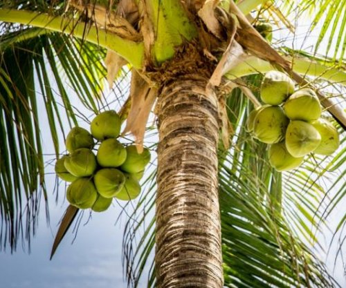 Indonesian school accepting tuition payments in coconuts