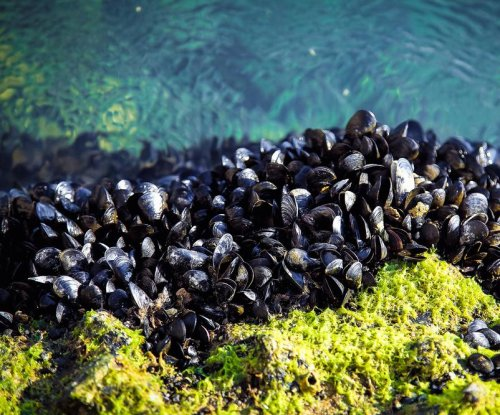 Effect of ocean acidification on shellfish depends on other stressors