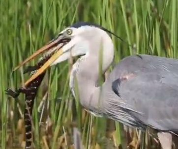 Alligator eaten by great blue heron in Florida wetlands