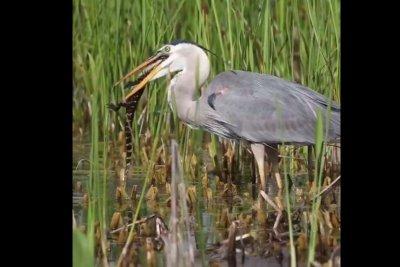Alligator eaten by great blue heron in Florida wetlands