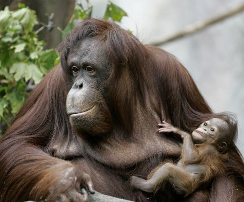 Adolescent orangutans breastfeed for eight years