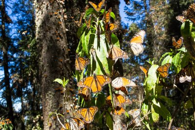 Two monarch butterfly activists found dead in Mexico