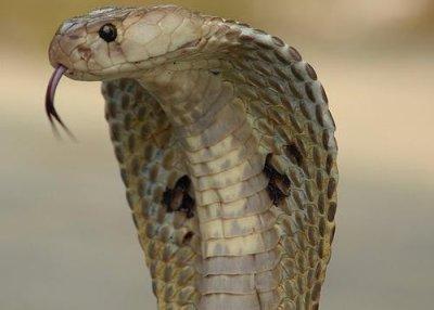 Woman survives cobra bite