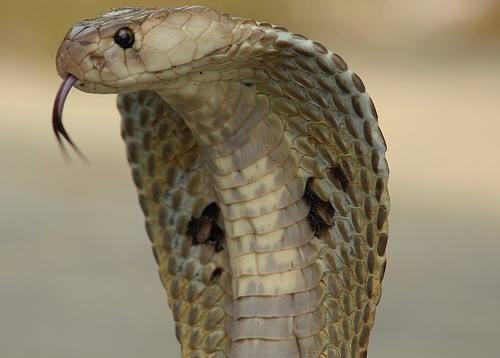 Woman survives cobra bite
