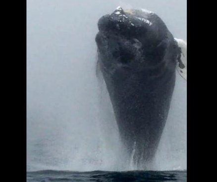Humpback does a back flip for Nova Scotia whale watching boat