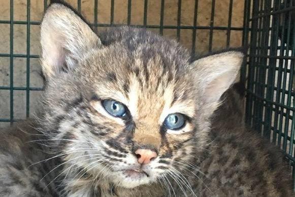 Look Woman Mistook Bobcat Cubs For Domestic Cats Upi Com