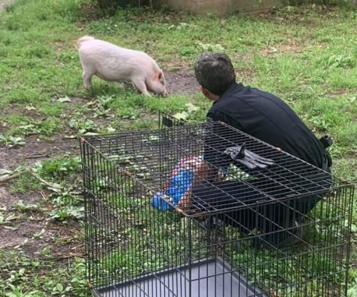 Arkansas police capture loose pig, avoid being 'hambushed'