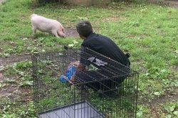 Arkansas police capture loose pig, avoid being 'hambushed'