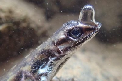 Scuba-diving lizard uses air bubbles to stay under water