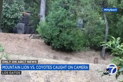 California woman records face-off between mountain lion, coyotes