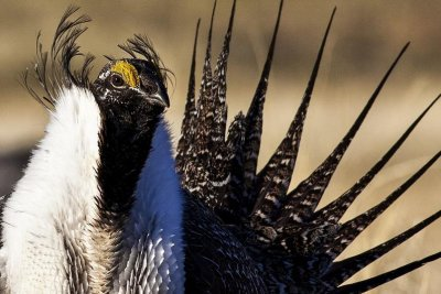Greater sage grouse could be declared endangered