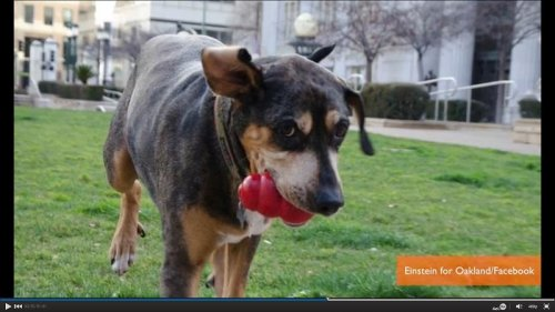 Einstein the dog throws his collar into the ring in the Oakland mayoral race