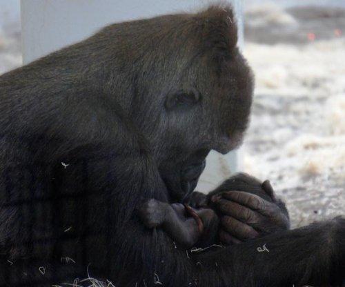 Como Zoo's newborn gorilla dies