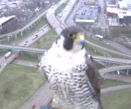 Peregrine falcon videobombs Michigan news camera