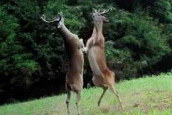 Deer box on hind legs on Tennessee trail footage