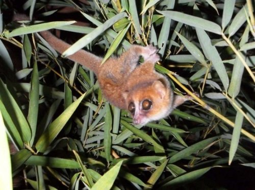 Two new species added to world lemur count
