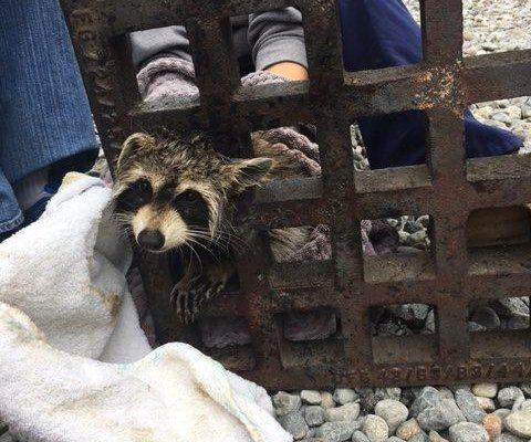 Rhode Island raccoon rescued from sewer grate