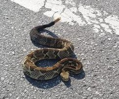 Virginia police escort rattlesnake across busy road