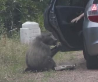 Baboon opens car door, steals pizza in South Africa