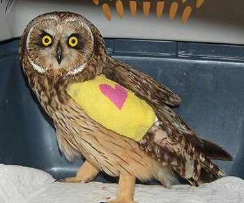 Rare owl recovering from broken wing at Canadian wildlife center