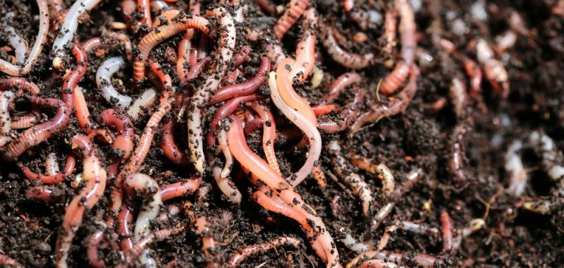 on sale 3ae16 e0f53 Invasive earthworms are changing forest ecosystems - UPI.com