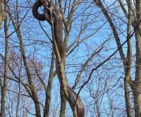Large snake photographed in tree at Pittsburgh park
