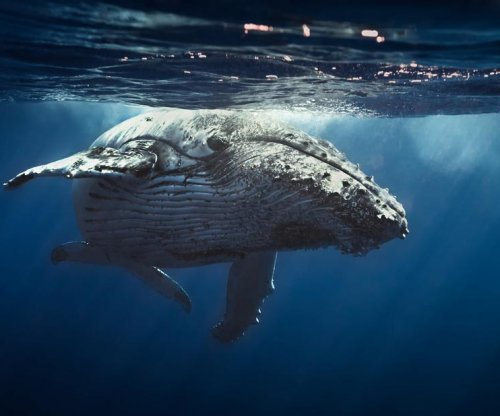 Myoglobin in whales may help researchers develop synthetic blood