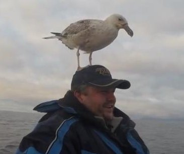 Seagull claims boater's head as perch in Norway
