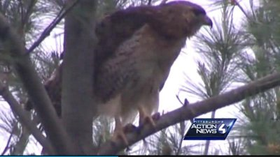 Hawk knocks 64-year-old woman unconscious and leaves her with a black eye