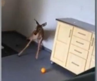 Young deer dodges fire chiefs while rampaging through home