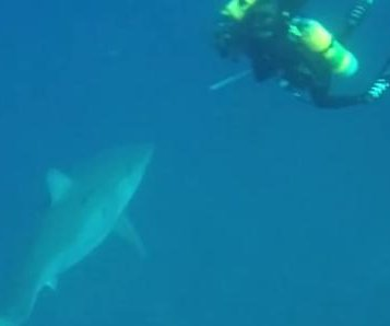 Florida scuba diver records great white shark circling group