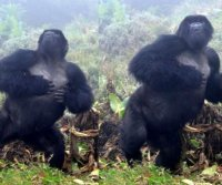Gorillas don't lie: Chest beats provide reliable information about a male's size
