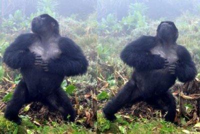 Gorillas don't lie: Chest beats provide reliable information about a male's size