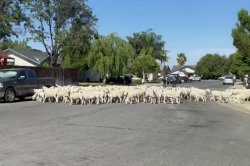 Dozens of loose sheep overrun California neighborhood