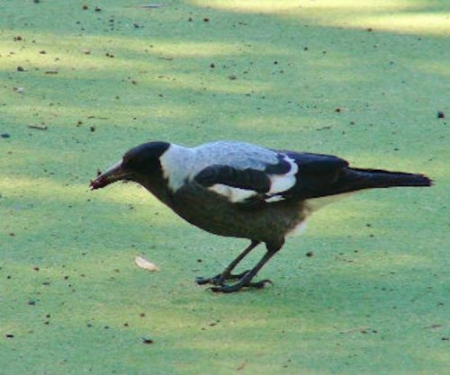Australian magpie is a dunker, dips food in water before eating