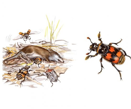 Smaller is better; female burying beetles prefer miniature mates