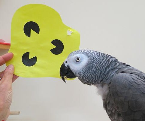 Parrots can identify shapes, even elusive ones