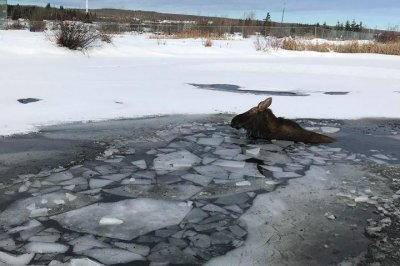Moose rescued after falling through ice of frozen pond