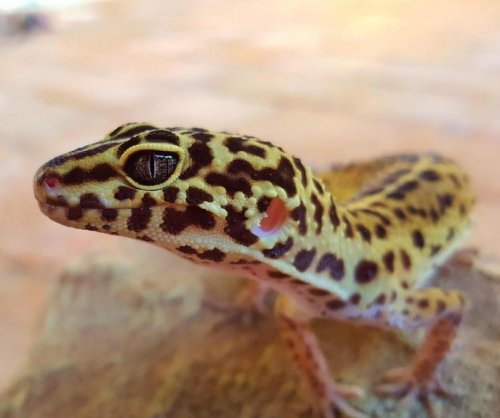 Pet trade threatens thousands of species, especially reptiles