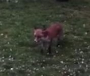 Wild fox plays with dog at public park in Scotland