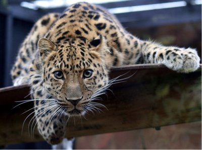 Russia, China in count of rare leopard