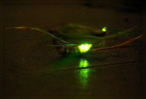Photos offer glimpse of bright green glow worm in the Amazon