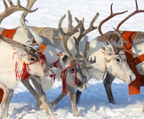 Reindeer populations declining worldwide, study says