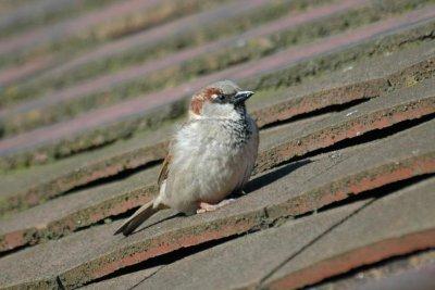Avian malaria may explain decline of London's house sparrow